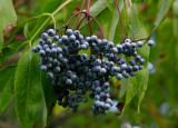 Blåfläder (Sambucus cerulea)