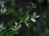 Blek jordrök (Fumaria vaillantii)