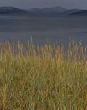 Strandråg (Leymus arenarius)