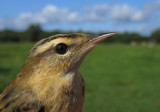 Sedge Warbler (Acrocephalus schoenobaenus), 1K
