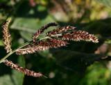 Hönshirs (Echinochloa crus-galli)