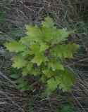 Rödek (Quercus rubra)
