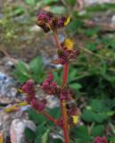 Rödmålla (Chenopodium rubrum)