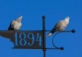Collared-Dove (Ecaocto decaocto)