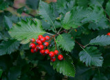 Häckoxel (Sorbus mougeottii)