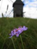 Fältvädd (Scabiosa columbaria)