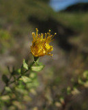 Bergjohannesört (Hypericum montanum)
