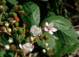 Armeniskt björnbär (Rubus armeniacus)