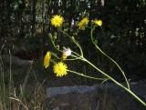 Åkermolke (Sonchus arvensis)