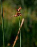 Säv (Schoenoplectus lacustris)