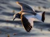Sabine´s Gull (Xema sabini)