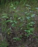 Balsampoppel (Populus balsamifera)