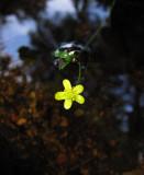 Ältranunkel (Ranunculus flammula)