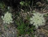 Vildmorot (Daucus carota ssp. carota)