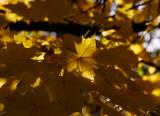Lönn (Acer platanoides)