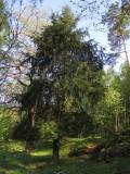Hemlock (Tsuga canadensis)