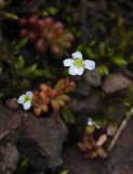 Grusbräcka (Saxifraga tridactylites)