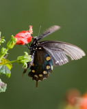 Pipvine Swallowtail (Battus philenor)