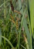 Jättestarr (Carex riparia)