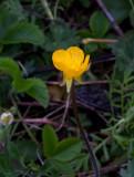Revsmörblomma (Ranunculus repens)