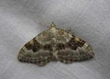 Backfältmätare  (Xanthorhoe montanata)