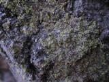 Grön spiklav  (Calicium viride)