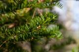 Idegran (Taxus baccata)