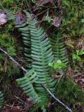 Kambräken (Blechnum spicant)