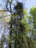 Coloradogran (Abies concolor)