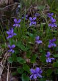 Sumpviol (Viola uliginosa)