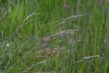 Ängshavre (Helictotrichon pratense)