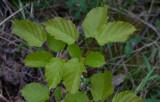 Rysk lönn (Acer tataricum ssp. tataricum)
