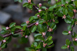Spärroxbär (Cotoneaster divaricatus)