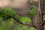 Kustgran (Abies grandis)
