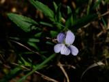 Dvärgviol (Viola pumila)