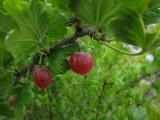 Krusbär (Ribes uva-crispa)