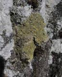 Asporangelav (Caloplaca flavorubescens)
