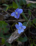 Strandviol (Viola persicifolia)