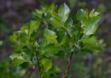 Svartvide (Salix myrsinifolia)