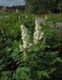 Rönnspirea (Sorbaria sorbifolia)