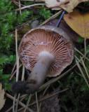 Hasselriska (Lactarius pyrogalus)