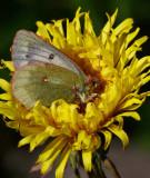 Fjällhöfjäril (Colias tyche)