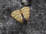 Mindre borstspinnare (Setina roscida)