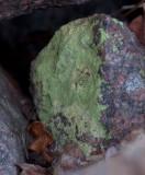 Citrongul skivlav (Psilolechia lucida)