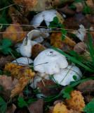 Vit tuvskivling (Lyophyllum connatum)