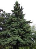 Blågran (Picea pungens)