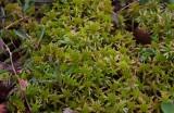 Vitmossa (Sphagnum sp)