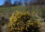 Cypressfläta (Hypnum cupressiforme)