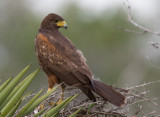 Harris´s Hawk (Parabuteo unicinctus)