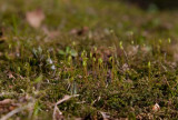 Lundpraktmossa (Plagiomnium cuspidatum)